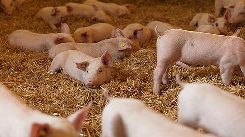 Багато свиней лежать на соломі.