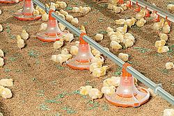Курчата їдять корм з нової годівниці для відгодівлі бройлерів