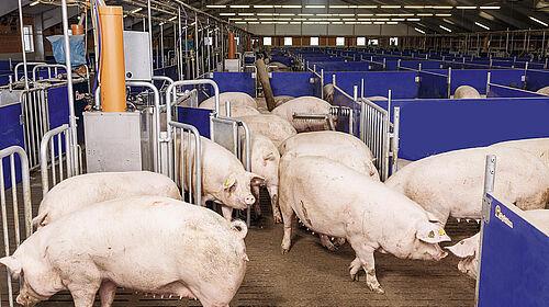Вид на групу супоросних свиноматок