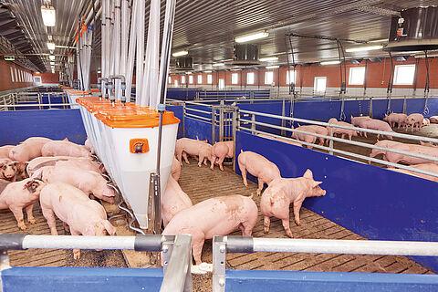 Відгодівля свиней