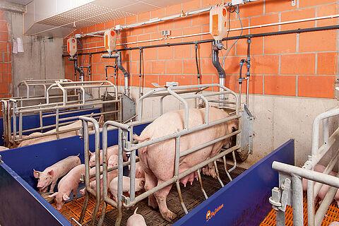 Індивідуальне годування свиноматок на опоросі за допомогою системи EasySlider