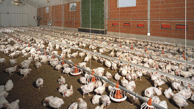 Виробництво м'яса/пташник для вирощування бройлерів