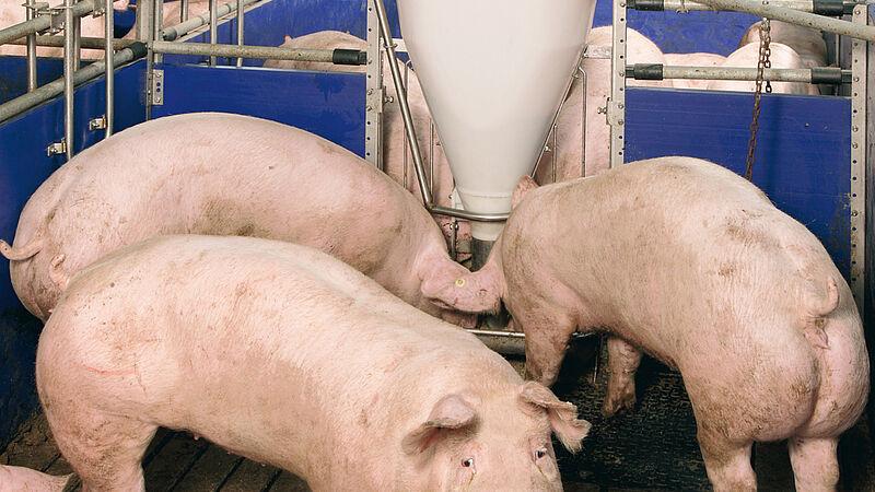 Станочне обладнання / кормороздавальна установка для відгодівлі свиней