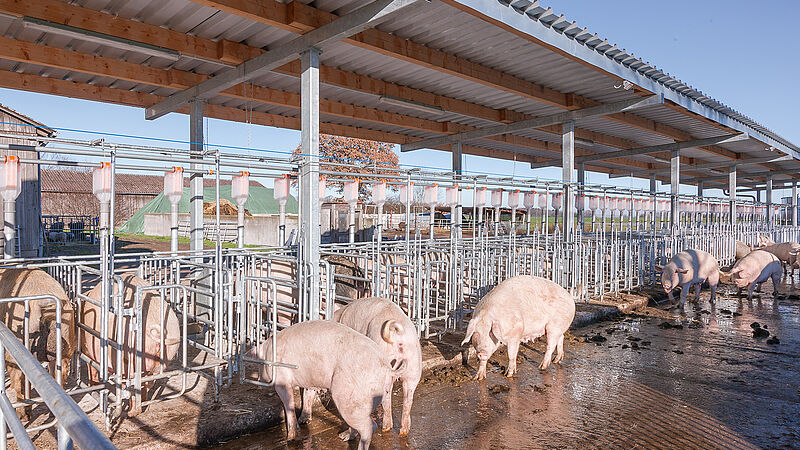 Сучасне утримання свиноматок