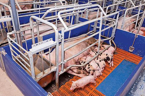 Утримання свиноматок