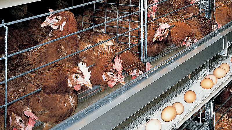 Виробництво яйца в UNIVENT